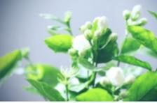 春季喝茉莉花茶,除了缓解春困,对身体还有这几个好处